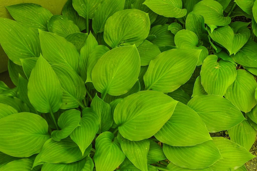 Foliage - Hostas