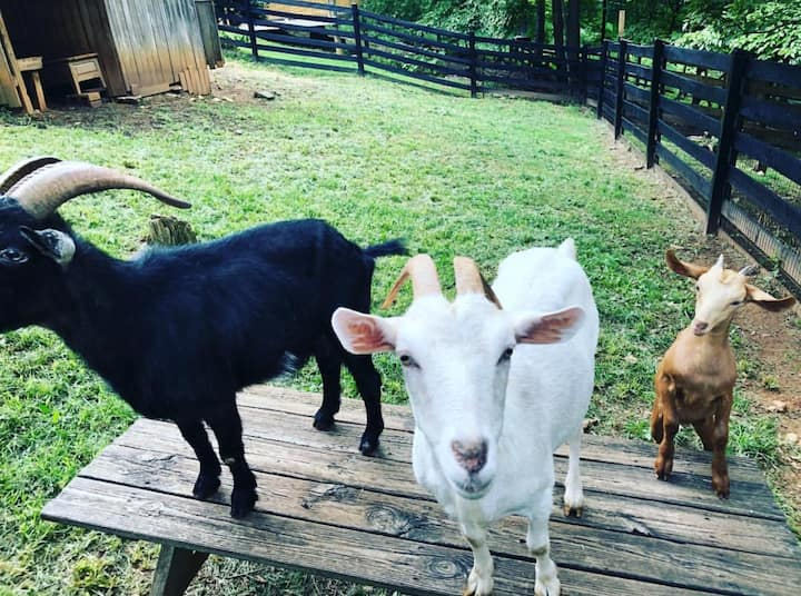 Friendly goats on a Farm stay Virginia Glamping