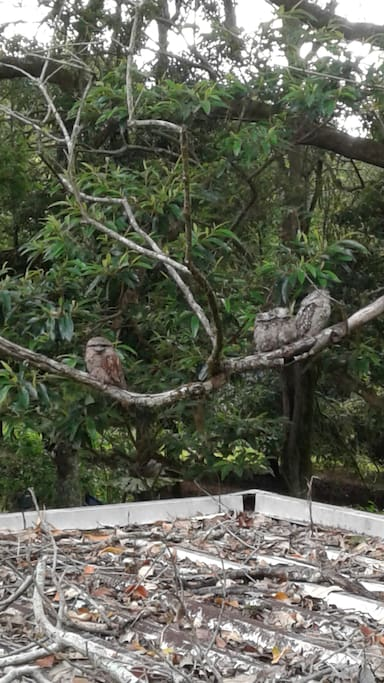 Backyard with tawny frogmouths