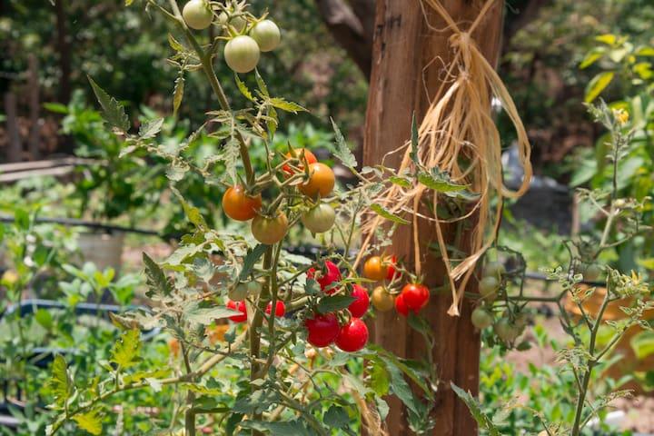 HUERTA ORGÁNICA Usted puede cosechar y comprar vegetales orgánicos mientras su estadía.