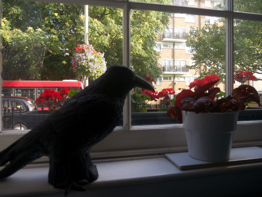 Our German Crow who watches out the window.