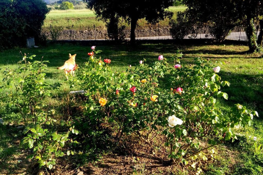 Garden roses at Amoreto