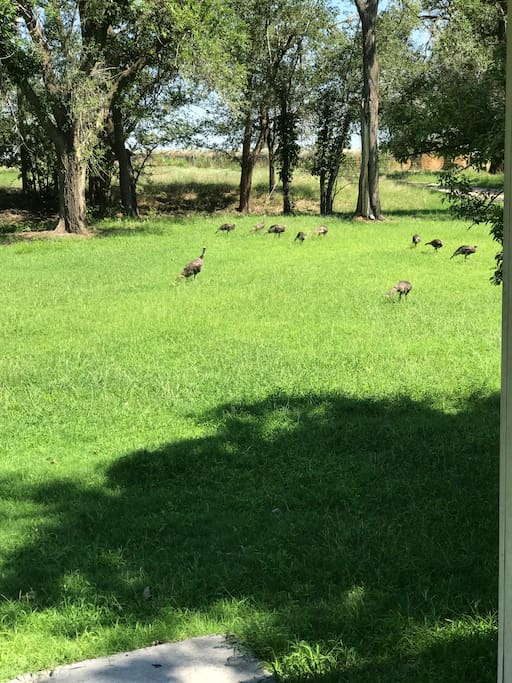 Turkeys are often seen in the yard