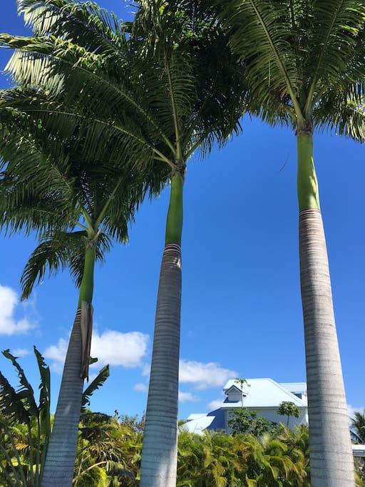 Palmiers royaux