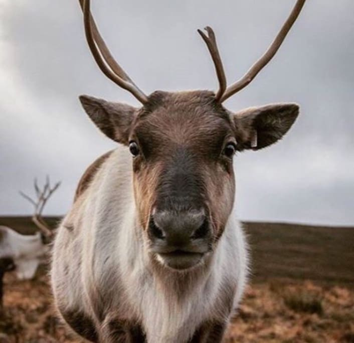 Visit the Cairngorm Reindeer Centre to see this wee face:)