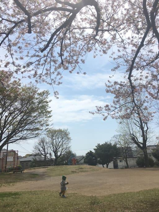 室外安静的公园,美丽的樱花