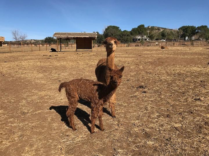 Our alpaca family
