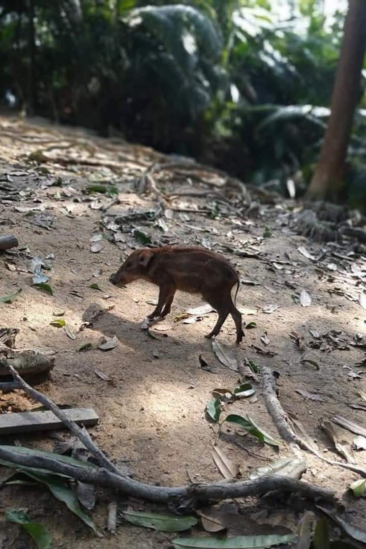 Small size baby wild boar spotted