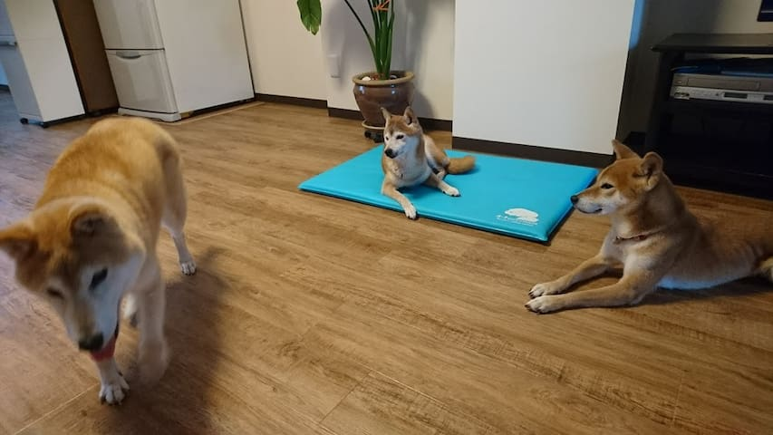 Con tres perro de Shiba inu japones. - Naniwa-ku, Ōsaka-shi - House