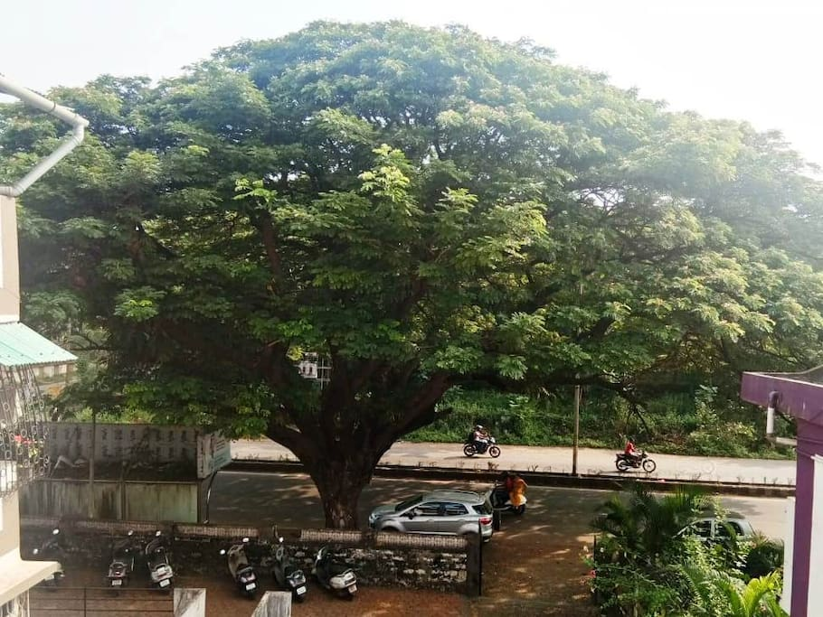 View of Rain Tree from balcony of Airport Road below