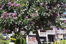 Beautiful Orchid tree by front door of condo