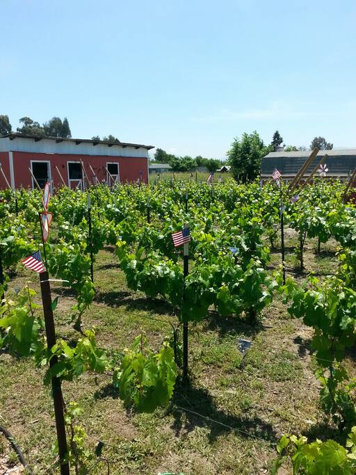 Our vineyard behind your home