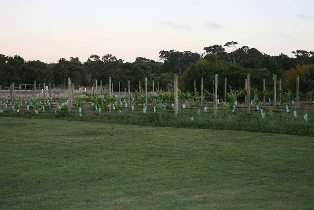 Beautiful vines  - our pride and joy