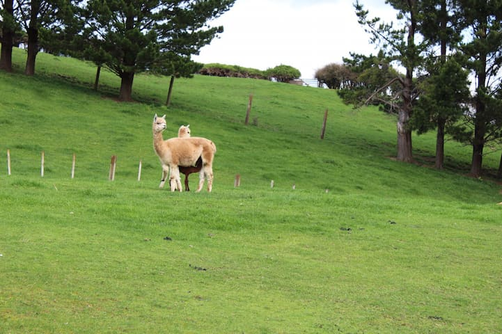 Lamas across our driveway.