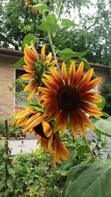 Lovely giant Red Sunflowers in late July <3