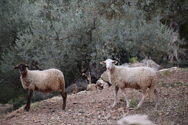 Moutons autochtones