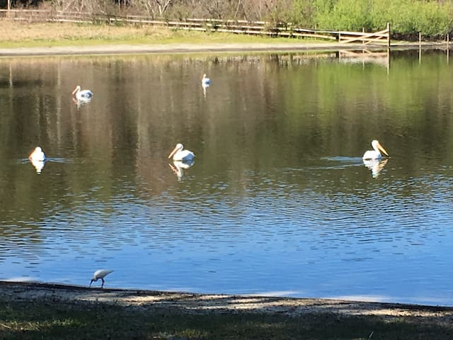 """Always a changing variety of bird and ducks. These white pelicans are winter residents """"snowbirds""""."""