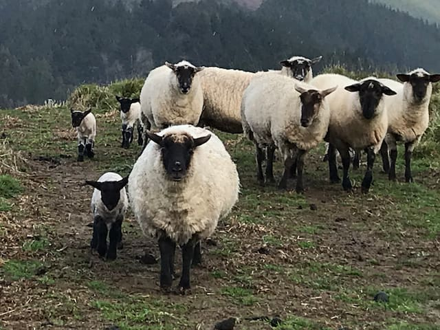 DUNBAR ESTATES South Suffock flock -in the hill paddocks at the back of the property
