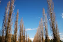 Avenue of poplars leading to The Cottage