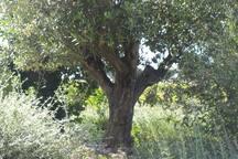 L'olivier centenaire du jardin