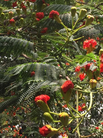 Can touch this enchanting flower Gulmohar with your own hands on the terrace of the apartment
