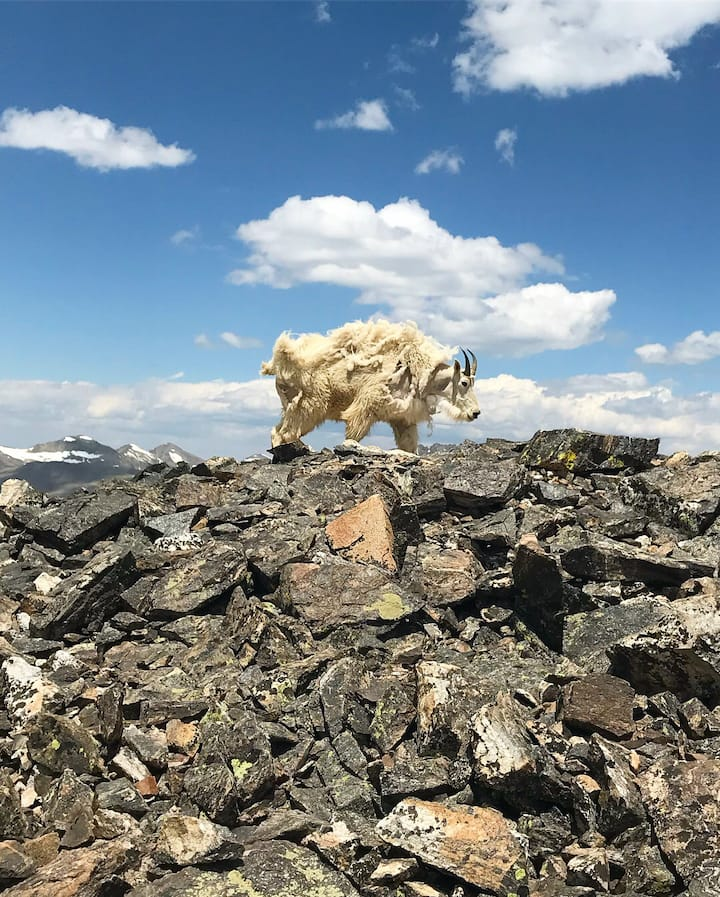 Mt. Lincoln. Male Goat. May '18.
