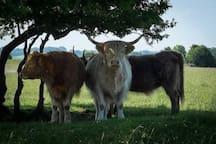 The Minchinhampton cows roam free