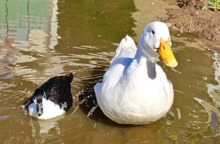 Yes, we have ducks too!
