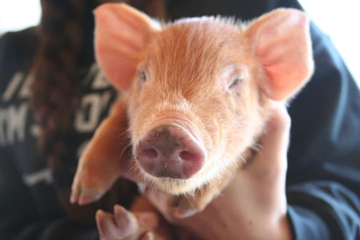 In the Spring and Fall we have piglets to socialize and if you are lucky to stay with us during those days you can feed them and watch them grow.