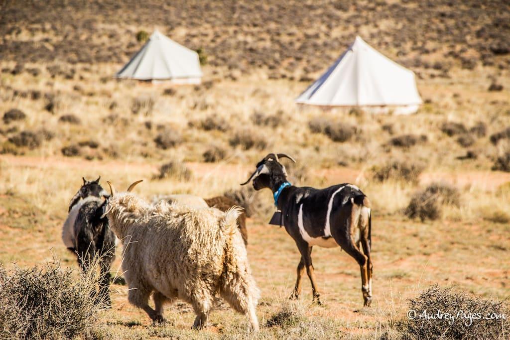Bell tent 2 glamping on navajoland tenten te huur in for Schapenboerderij te koop