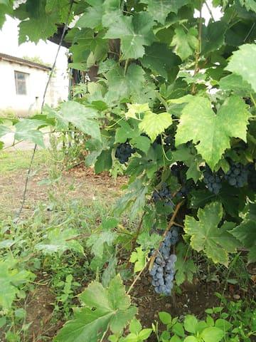 Weintrauben aus dem hauseigenen Garten