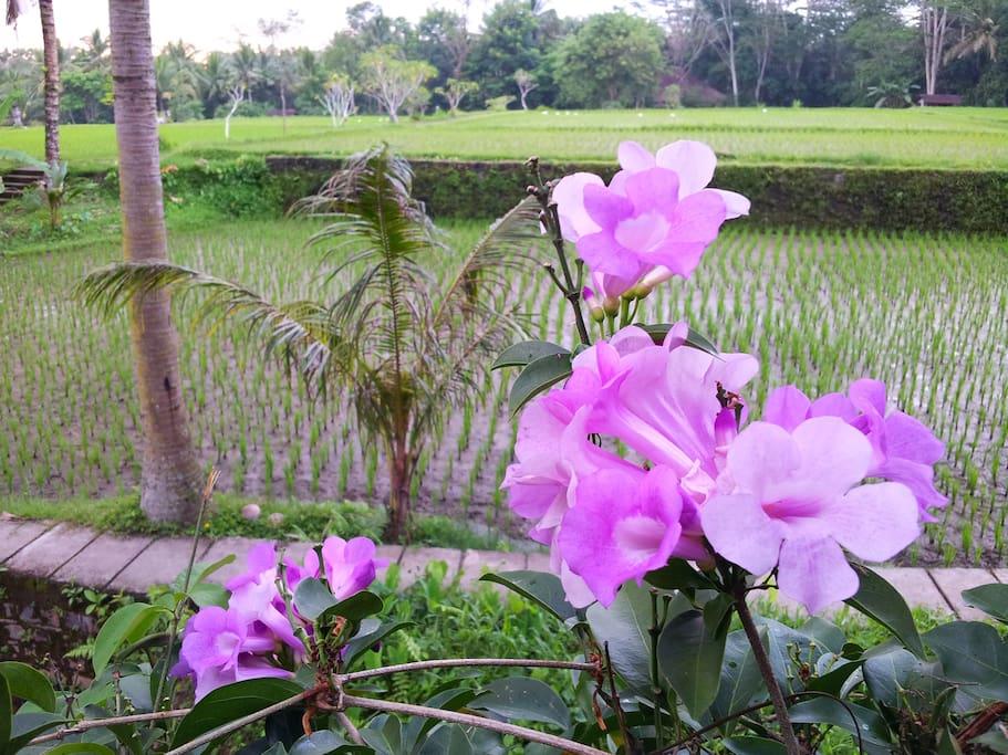 Enjoy Rice Field View & Walking