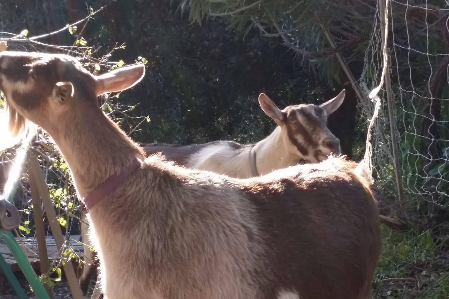 Two of our 3 goats. Sorry - they aren't producing milk anymore.