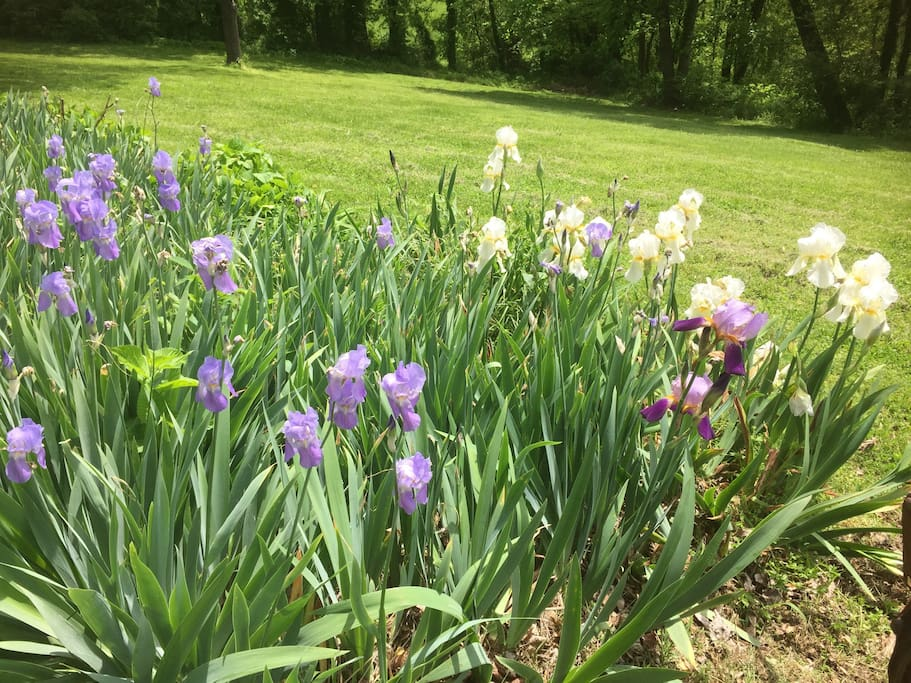 Purple and White Iris flower beds grace the lawns around the cabin.
