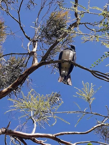Native wildlife - kereru / New Zealand pigeon
