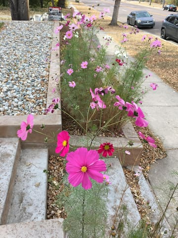 Cosmos at the end of summer 2016