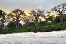 Beautiful ancient baobab trees protecting the grounds