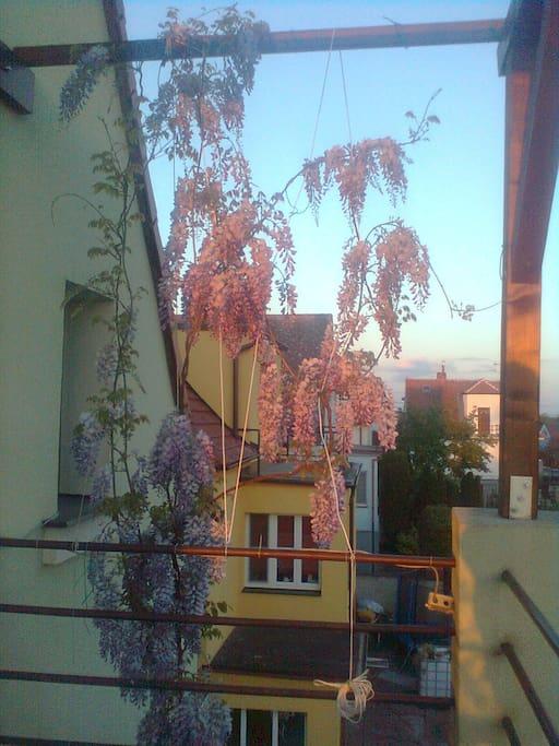 We like flowers and specially our sweet-smelling Vistaria. Máme rádi květiny a hlavně naši voňavou vistárii.