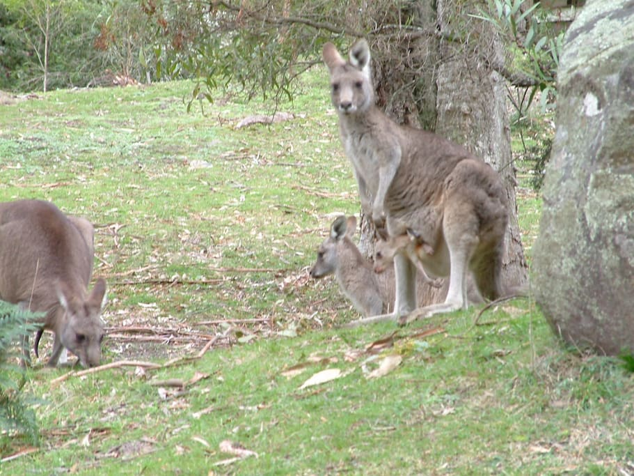 Kangaroos are quite often seen around the house