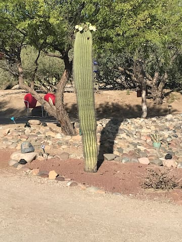 Saguaro in bloom...your front yard :)