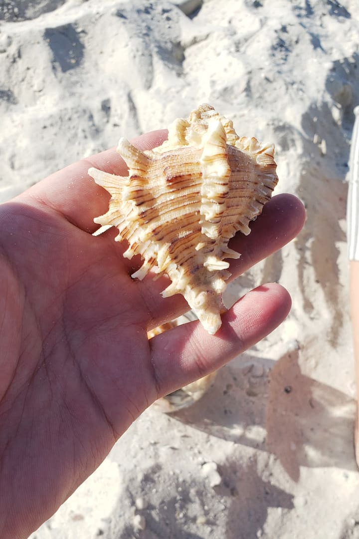 Beautiful Murax Conch Shell