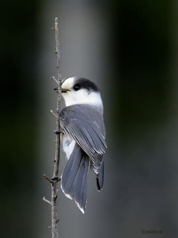 Et pour terminer l'oiseau emblème du Canada, le Mésangeai du Canada lui aussi omniprésent dans l'environnement de la tour Québecphotogravie.