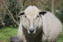 'Minty' the resident sheep who is child-friendly and loves to be hand fed. Will run over at the sound of a shaking bucket!