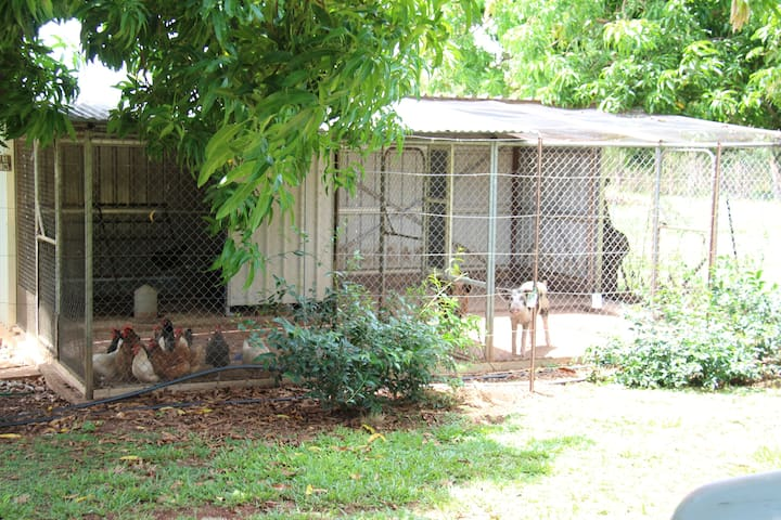 Chooks and pigs