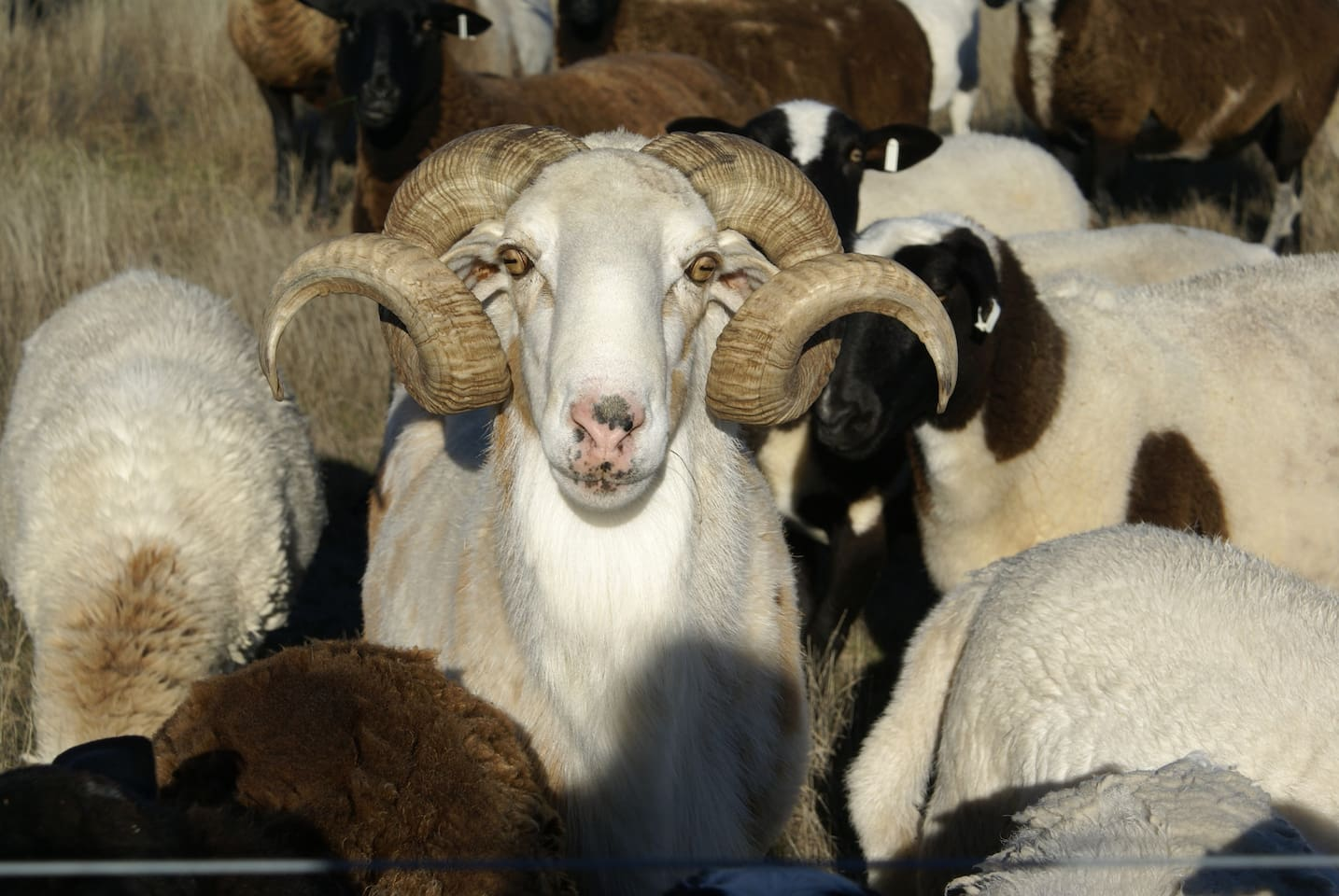 Rimu the Ram with his ladies....