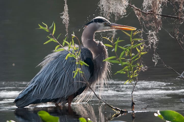 Grand, great Blue Heron on the river