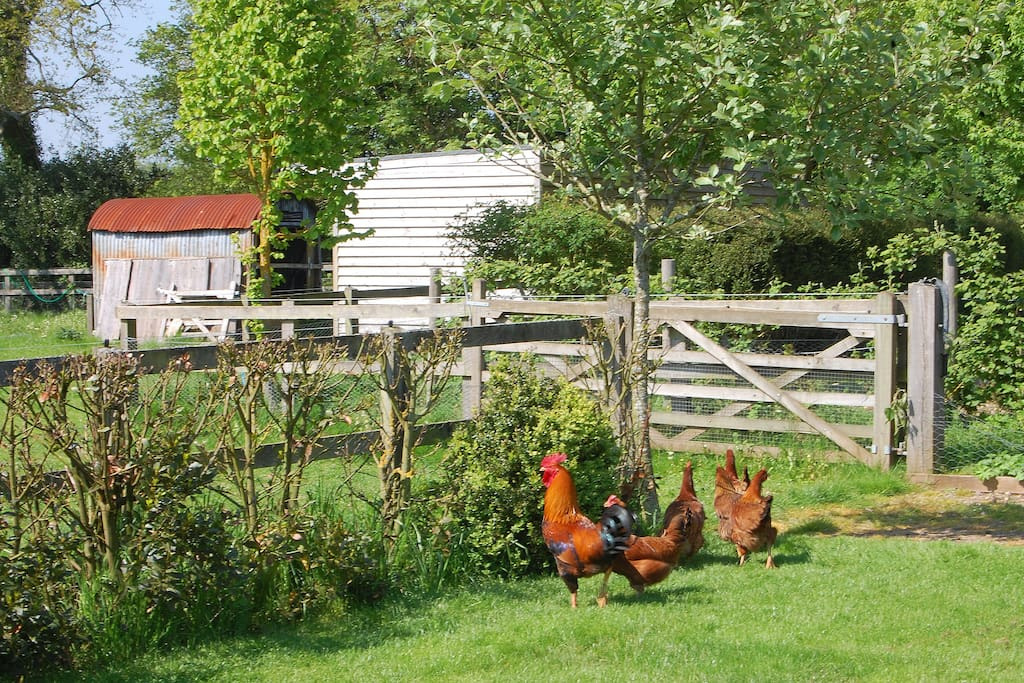 Chickens roaming the garden.