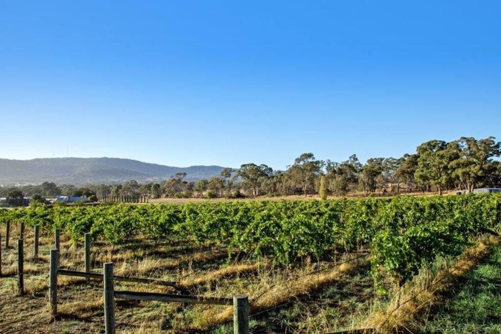 Our vineyard overlooking Mount Alexander