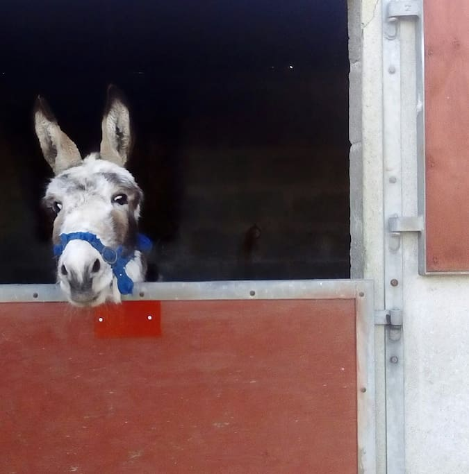 resident donkey Bernard