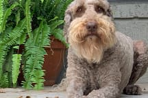 Harvey the 80 pound resident kind and gentle Labradoodle. If you are not a dog person, we may not be a good match.